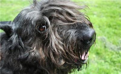 法兰德斯畜牧犬翻肠子怎么办?法兰德斯畜牧犬呕吐该如何治疗?