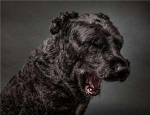 法兰德斯畜牧犬翻肠子怎么办?法兰德斯畜牧犬呕吐该如